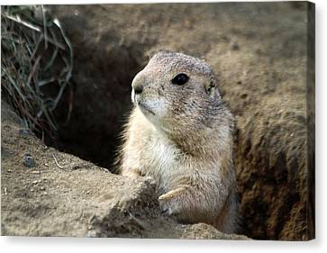 Prairie Dog Lookout Canvas Print by Karol Livote