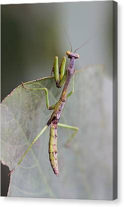 praying Mantis Canvas Print by Craig Lapsley