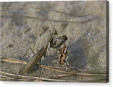 Praying Mantis Eating A Butterfly Canvas Print by Darlyne A. Murawski