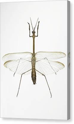 Praying Mantis Canvas Print by Lawrence Lawry