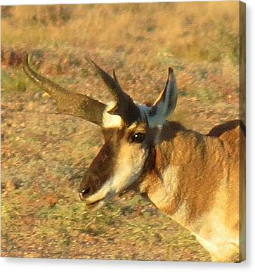 Pronghorn Catching Light Canvas Print by Feva  Fotos