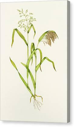 Proso Millet (panicum Miliaceum), Artwork Canvas Print by Lizzie Harper