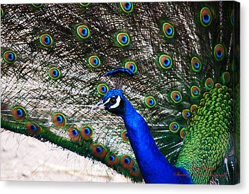 Proud Peacock Canvas Print by Sheryl Cox