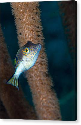 Puffer Profile Canvas Print by Jean Noren