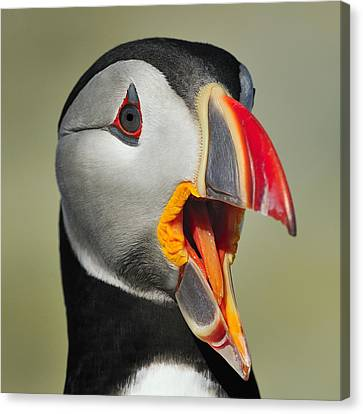 Puffin Portrait Canvas Print by Tony Beck