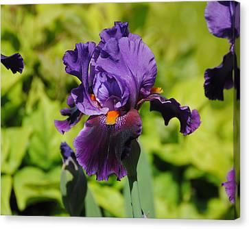 Purple And Orange Iris Flower Canvas Print by Jai Johnson