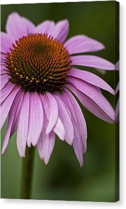 Purple Coneflower Canvas Print by Jason Pryor