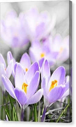 Purple Crocus Blossoms Canvas Print by Elena Elisseeva