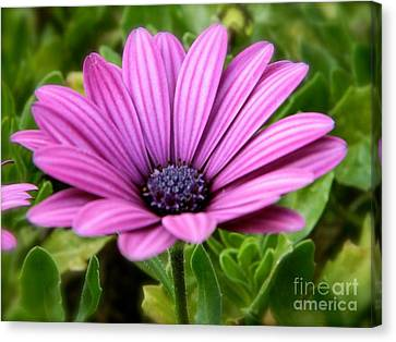 Purple Flower Canvas Print by Sara  Mayer