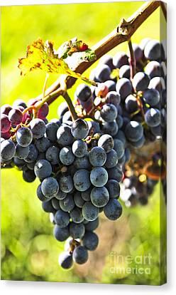 Purple Grapes Canvas Print by Elena Elisseeva