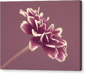 Purple Mum Canvas Print by Cathie Tyler