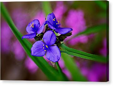 Purple Passion Canvas Print by Marty Koch