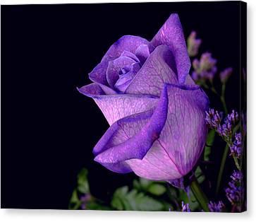 Purple Rose Canvas Print by Darren Fisher