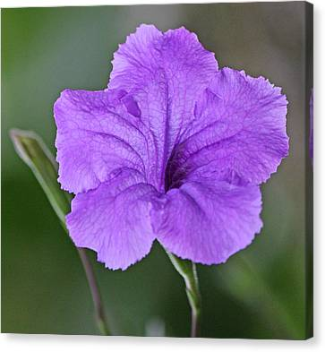Purple Ruellia Canvas Print by Becky Lodes