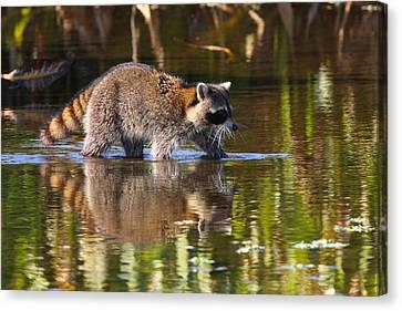 Raccoon Foraging  Canvas Print by Bruce J Robinson