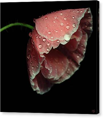 Rain Drops On Pink Poppy Canvas Print by Flower photography by Viorica Maghetiu