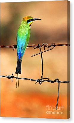 Rainbow Bee-eater Canvas Print by Brian Gunter