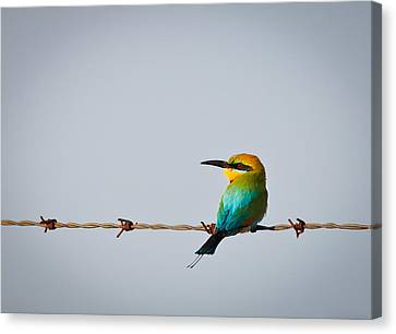 Rainbow Bee-eater Perched On Wire Canvas Print by Johan Larson