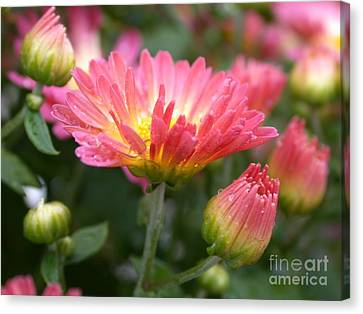 Rainbow Mums Canvas Print by Living Color Photography Lorraine Lynch