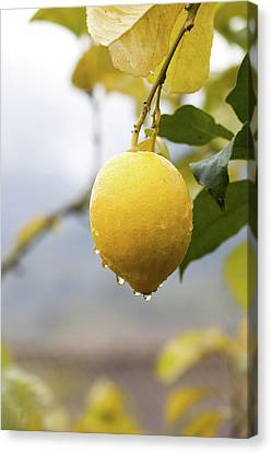 Raindrops Dripping From Lemons. Canvas Print by Guido Mieth