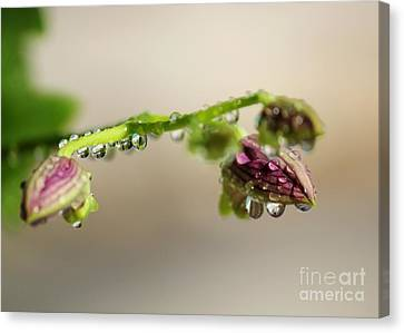 Raindrops On Orchid Buds Canvas Print by Theresa Willingham