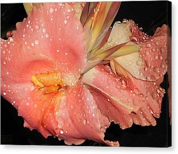 Raindrops On Peach Canna Canvas Print by Dianne Larsen