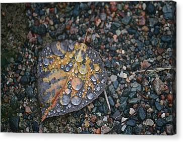 Raindrops Canvas Print by Shirley Mailloux