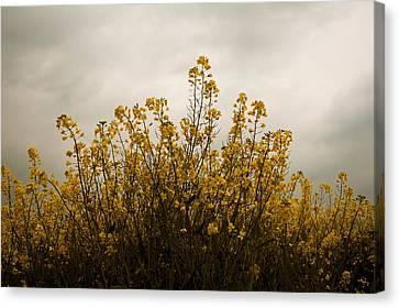 Rapes Field Canvas Print by Svetlana Sewell