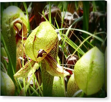 Rare Darlingtonia Plants 2 Canvas Print by Cindy Wright