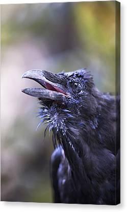 Raven Hyder, Alaska, Usa Canvas Print by Richard Wear