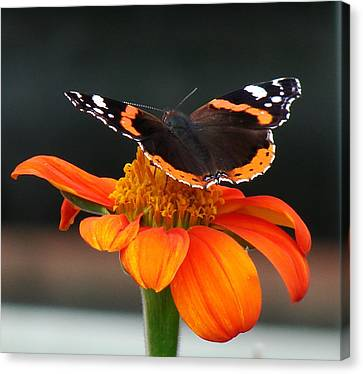 Red Admiral Canvas Print by Nicola Butt