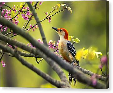 Red Bellied In Tree Canvas Print by Bill Tiepelman