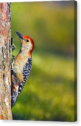Red-bellied Tree Pecker Canvas Print by Bill Tiepelman