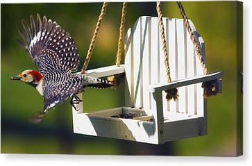 Red-bellied Woodpecker In Flight Canvas Print by Bill Tiepelman