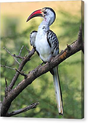 Red-billed Hornbill Canvas Print by Tony Beck