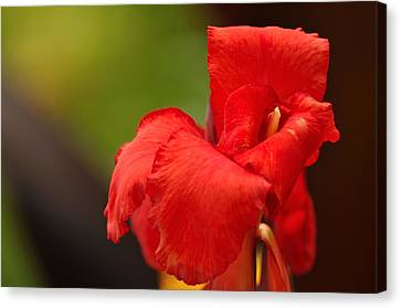Red Canna Lilly Canvas Print by Gene Sherrill