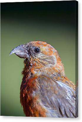 Red Crossbill Canvas Print by Derek Holzapfel