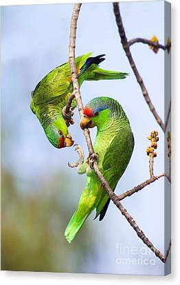 Red-crowned Amazon Pair Canvas Print by Anthony Mercieca and Photo Researchers