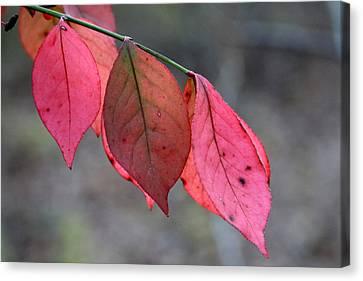 Red Fall Leaf  Canvas Print by Rick Rauzi