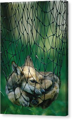 Red Fox Vulpes Vulpes In A Soft Trap Canvas Print by Joel Sartore