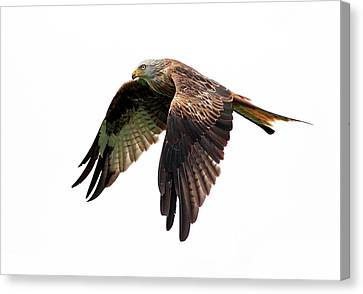 Red Kite In Flight Canvas Print by Grant Glendinning Photography
