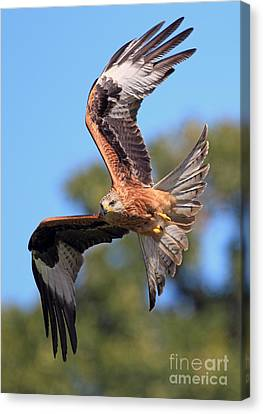 Red Kite On A Mission Canvas Print by Clare Scott