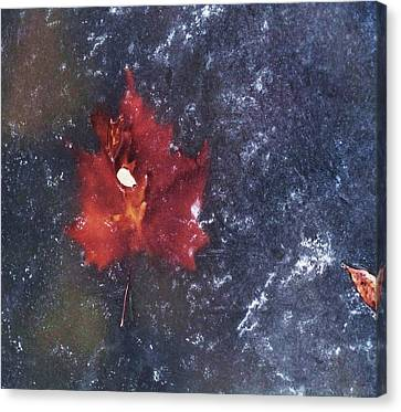 Red Leaf In Ice Canvas Print by Todd Sherlock