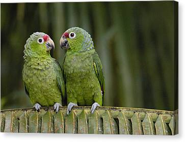 Red-lored Parrot Amazona Autumnalis Canvas Print by Pete Oxford
