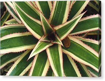 Red Pineapple Bromeliad Ananas Comosus Canvas Print by Gerry Ellis