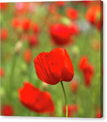 Red Poppies In Cornfield Canvas Print by Kees Smans
