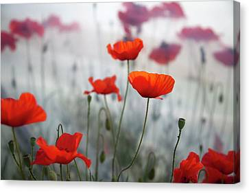 Red Poppies(papaver Rhoeas)  And Polytunnel Canvas Print by Pascal Preti