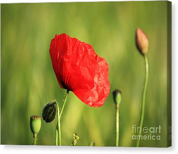 Red Poppy In Field Canvas Print by Pixel Chimp