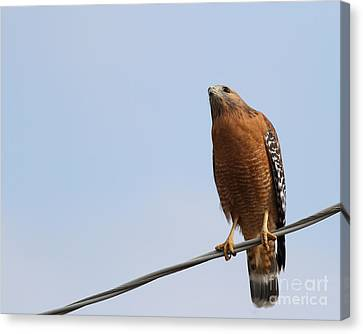 Red-shouldered Hawk . 7d10252 Canvas Print by Wingsdomain Art and Photography