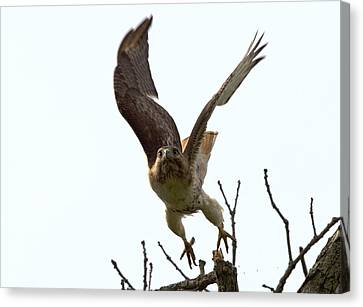 Red Tail Hawk Takeoff Canvas Print by Ron Sgrignuoli